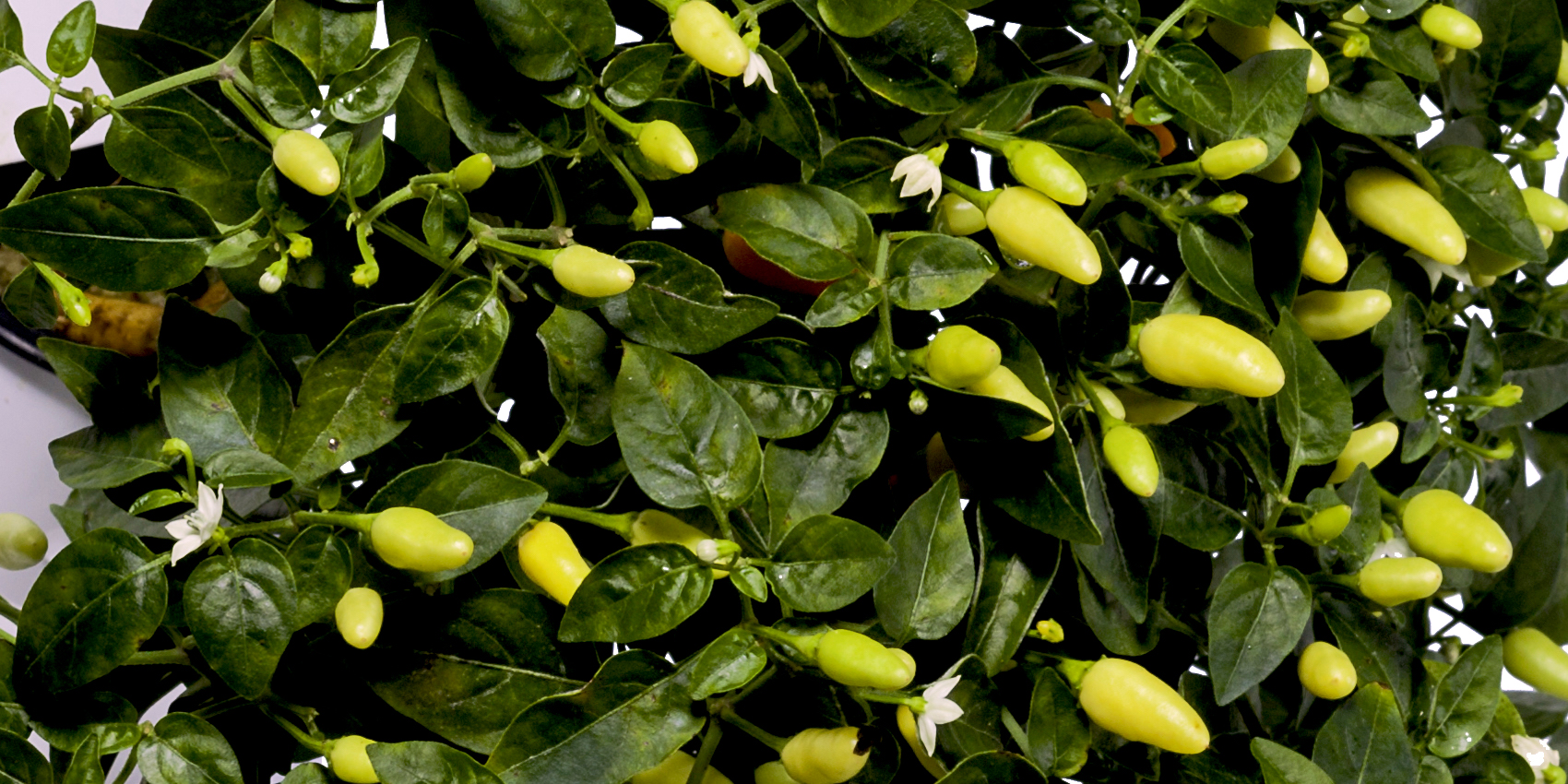 How To Grow Your Own Positively Perfect Peppers
